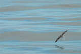 Nothern Fulmar [ Fulmarus glacialis ]