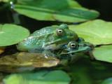 DSC_0019 Green(Edible) Frog [ Rana esculenta]