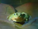 DSC_0014Green(Edible) Frog [ Rana esculenta]
