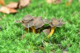 Cantharellus infundibuliformis 2 (Brown Chanterelle)
