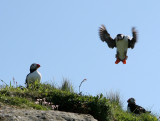 Puffin landing 1