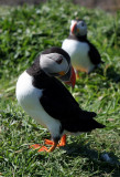 Puffin tail