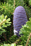 Korean Fir cone