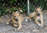 puppy studs.jpg
