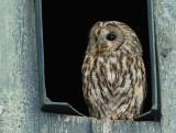 Auks, Doves, Cuckoos & Owls