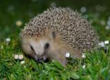 Igelkott - Hedgehog