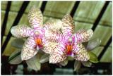 Phalaenopsis NoID (J & Sc)