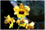 Dendrobium fimbriatum oculatum