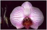 Phalaenopsis NoID