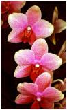 Phalaenopsis Memory  Suzanne AM-AOS