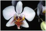 Phalaenopsis Frisson