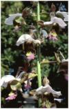 Eulophia horsfalii