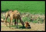 A Baby Camel.. the only one we have seen there ! (Baby .. not Camel !)