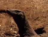 A Komodo Dragon on his island.
