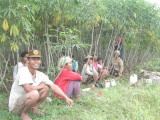Taro harvest, Sumatra
