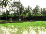 Rice patties on Bali