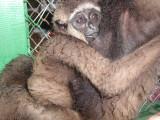 Nursing baby gibbon