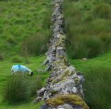 Dartmoors answer to the black sheep