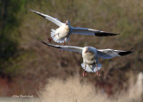 We've Found Our Spot! - Greater Snow Geese