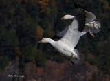 Stay Close To My Tail - Greater Snow Geese