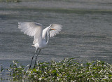 A Great Egret On The Wing Visits Cap Tourmente