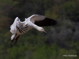 On The Tips Of My Fingers - Greater Snow Goose
