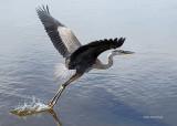 You're A Bit Too Close For Me! Heron - Cap Tourmente