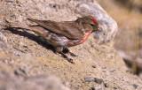 Male Redpoll - (Carduelis flammea)