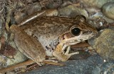 Freycinet's Frog - Clarence River