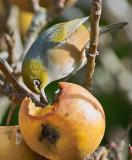 Waxeye eating an Apple