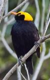 Regent Bower Bird - Male