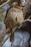 Regent Bower Bird - Female