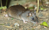 Bush Rat - (Rattus fuscipes)
