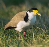 Spur Wing Plover