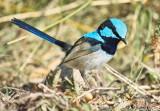 Superb Blue Fairy Wren - Male