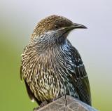 Little Wattle Bird