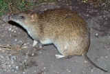 Brown Bandicoot