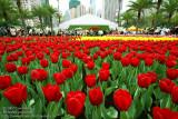 Field fo tulips