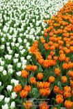 White vs Orange