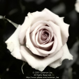 A Fading Rose