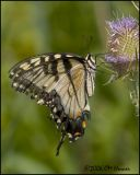 4696 Eastern Tiger Swallowtail.jpg