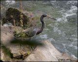 4723 Tricolored Heron.jpg