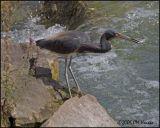 4747 Tricolored Heron.jpg