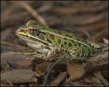 5002 Leopard Frog.jpg