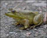 5059 Bull Frog.jpg
