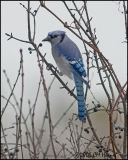 5099 Blue Jay.jpg