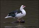 5185 Domestic Muscovy Duck.jpg
