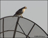 5255 Red-tailed Hawk.jpg