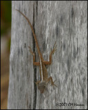 5723 Brown Anole female