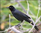 5734 Great-tailed Grackle male.jpg